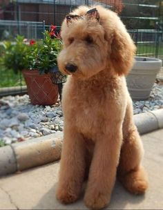 goldendoodle haircut my favorite dog doodle and 41 best sheepadoodle haircuts images in 2020 old english