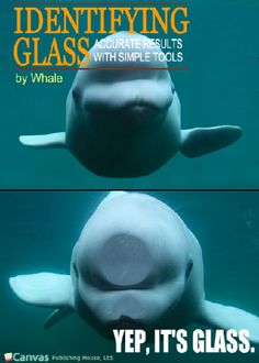 Beluga whales can be funny too