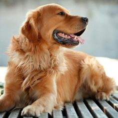 Golden Retriever: Magia y Esplendor incomparable! http://www.educarunperro.com/blog/los-golden-retriever-son-agresivos/ #goldenretriever