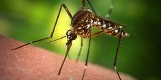 Repelentes caseros, ecológicos y eficaces para los mosquitos