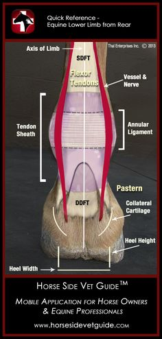 Horse Side Vet Guide - Quick Reference - Equine Lower Limb - Rear View - Mobile App  NOW AVAILABLE on iTunes!  http://horsesidevetguide.com/