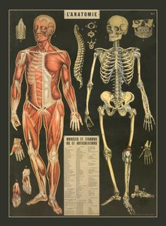 Here is an amazing and beautiful vintage print of Anatomy Chart featuring Muscles and Tendons Written in French.  ORDER TIME…