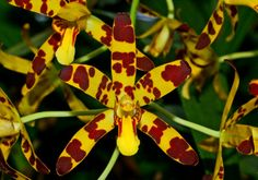 SeattleOrchid.com Ansellia africana (Leopard Orchid)  Orchid species from Africa with vibrant,fragrant,  yellow and maroon flowers