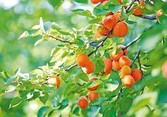 Ovocinár radí, ako pestovať marhule a broskyne Forest Garden, Edible Garden, Fruit Trees, Ecology, Painting Inspiration, Home And Garden, Gardening, Vegetables, Chata