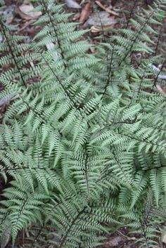 Athyrium 'Ghost' - for the back corner, if I trust myself to remember to water it all summer :)