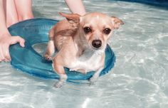 Skylar our Chihuahua X having a swim