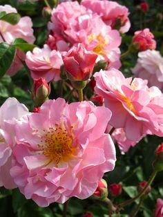 'Cornelia' shrub rose
