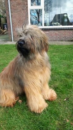 After grooming Briard Russian Dogs, Kittens, Cats, Beautiful Dogs, Yorkie, Dog Breeds, Dog Lovers, Dog Cat, Puppies
