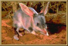 Bilby   Australian Animals - Bilby