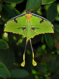 Argema mimosae or African Moon Moth from Madagascar.