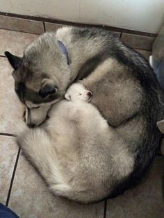 #Huskey #Pup #Animals