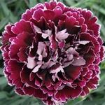 Minerva - Standard Carnation - Carnations - Flowers by category | Sierra Flower Finder