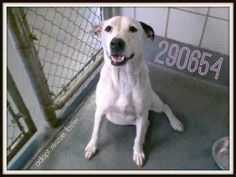 San Antonio, TX *Urgent! 290654 Spot is a really happy guy! He's good on a leash and did great when meeting dogs.He's a 2 yr old american staff blend whos tail never stops going! To adopt, foster/ rescue email: placement@sanantoniopetsalive.org https://www.facebook.com/photo.php?fbid=453186444783879&set=a.453531808082676.1073742402.236899813079211&type=1&theater&notif_t=comment_mention