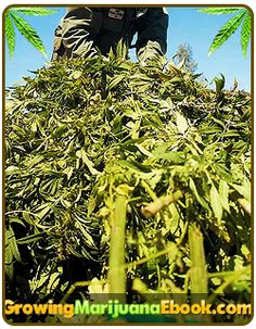 Super Cropping Your Marijuana   http://www.growingmarijuanaebook.com