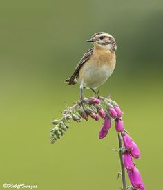 Photo Whinchat by Rob Cross on 500px