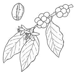 planta de cafe dibujo
