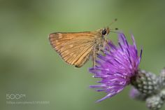 Butterfly on a thistel -