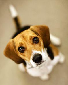 Beautiful beagle!