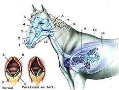 1. Buccal cavity    2. Nasal Cavity (open to pharynx)    3. Inferior maxillary sinus    4. Superior maxillary sinus    5. Frontal sinuses    6. Guttural pouch    7. Pharynx    8. Trachea    9. Bronchus    10. Alveolus    11. Lungs    12. Larynx    A. Trachea    B. Cartilage    C. Vocal cord    D. Epiglottis