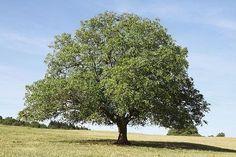 29 Best Black Walnut Tree images in 2017   Black walnut tree