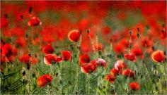 Poster Mohnblumen Wiese
