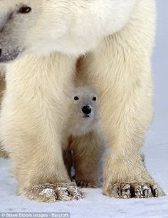 A polar bear cub taking cover underneath its mother.