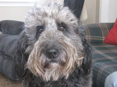 our Goldendoodle :) Dog Crossbreeds, Puppy Grooming, Doodle Doo, Mini Goldendoodle, Dogs And Puppies, Doggies, Therapy Dogs, Collie, Animal Kingdom