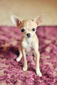 Sweet Baby Chihuahua