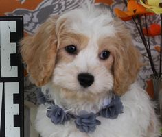 Barkley Finds His Forever Home Puppy Trainer, Cavachon Puppies, Cute Pictures, Dogs, Animals, Bebe, Animales, Animaux, Doggies