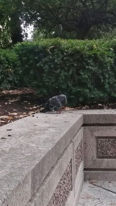 Fat pigeon taking a nap