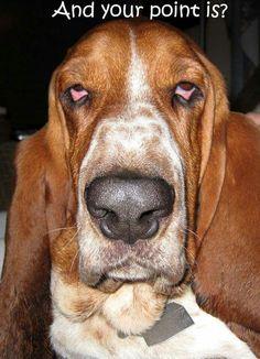 basset hound face meme funny