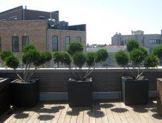 Evergreen, containers, planter, roof deck, urban, garden, landscape, design