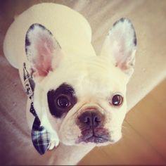 (* 'ω')ノ  ジッと見つめられて…  #フレンチブルドッグ #frenchbulldog - @kota_franc- #webstagram