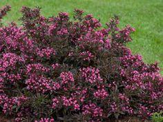Coreopsis yellow zagreb zagreb coreopsis zagreb for Purple low maintenance plants
