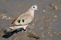Image from http://www.photodestination.co.za/images/peter_blog_post/Hluhluwe_-_Imfolozi_birding/11_emerald_spotted_wood_dove_by_wildlife_and_conservation_photographer_Peter_Chadwick.jpg.