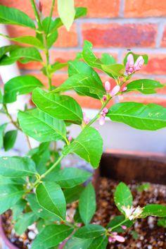 レモンの木につぼみが 2015.5