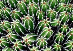 Cactus in Botanic Garden of Lanzarote, Spain