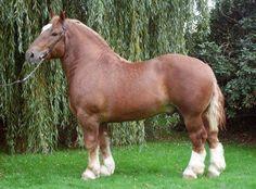 photos of the breton horse to pin - Google Search