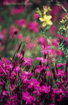 Heide-Nelke-Dianthus-deltoides-(Bayrischer-Wald-1975)