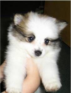 229 Best American Eskimo Dog Images American Eskimo Dog Doggies