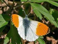 Kuvahaun tulos haulle suomen perhoset kuvina