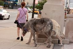 """Irish Wolfhounds"" Taking a Stroll in Chicago  after a hard morning of chasing wooley mammoths?"