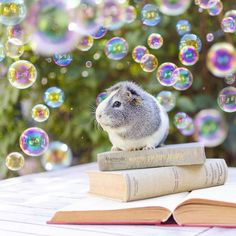 Adorable Guinea Pig Is the Photogenic Star of Her Own Magical Portraits - My Modern Met