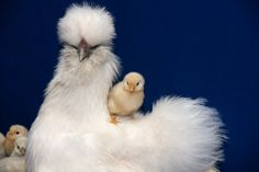 Silkies are the best breed of chicken as far as temperment goes. I have a pair, Daisy Mae and Antonio. Silkie Hen, Silkie Chickens, Cute Chickens, Chickens And Roosters, Raising Chickens, Chickens Backyard, Backyard Birds, Pretty Birds, Beautiful Birds