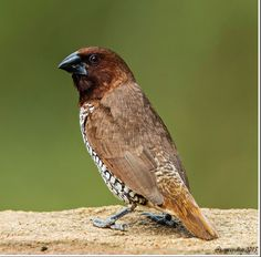 Scaly Breasted Munia (Lonchura punctulata) | Flickr - Photo Sharing!