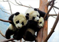 Picture of panda bears