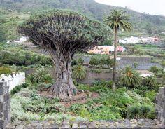 Sieht man häufig auf Teneriffa: Drachenbaum