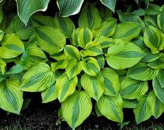 Gemini Moon Hosta - medium www.greenmountainhosta.com