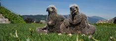 Artenschutz für Greifvögel & Eulen - Adlerarena Burg Landskron Owl, Animals, Wildlife Conservation, Eagle, Nursing Care, Animales, Animaux, Owls, Animal