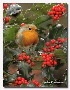 little English Robin Redbreast. All Birds, Little Birds, Love Birds, Pretty Birds, Beautiful Birds, Robin Vogel, European Robin, Merle, Robin Redbreast